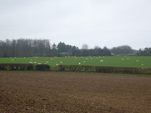Busy Sheep