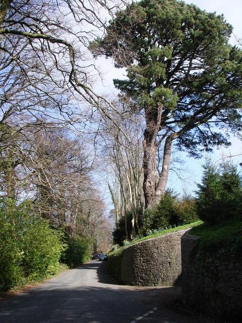 Pine tree, Greenway House Lodge Entrance
