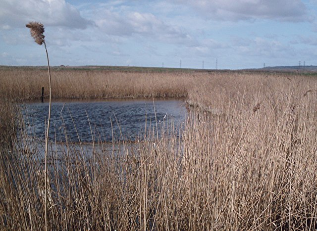 Reed Beds, Bowers Marshes