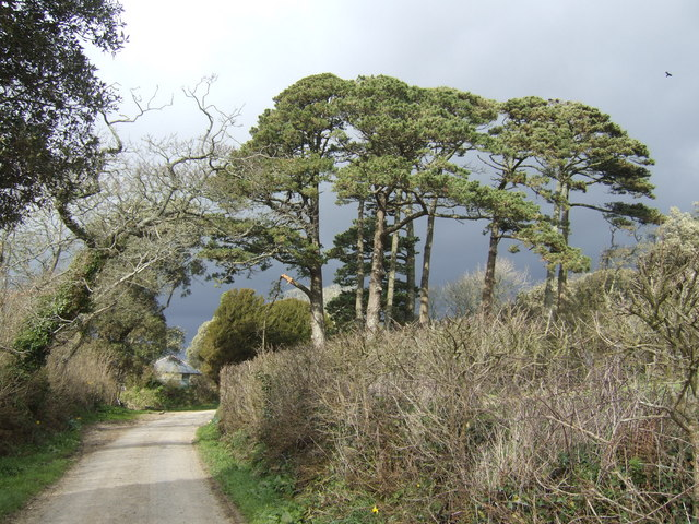 Group of pines at Tremayne