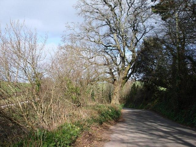 Oak tree, Greenway Road, Hook Bottom
