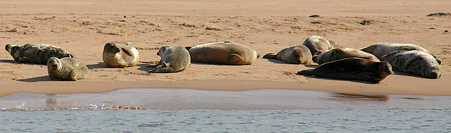 Seals hauled out on the Sands of Forvie