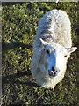 TL0761 : Shetland Sheep in Keysoe by Gary and Caroline Kidd