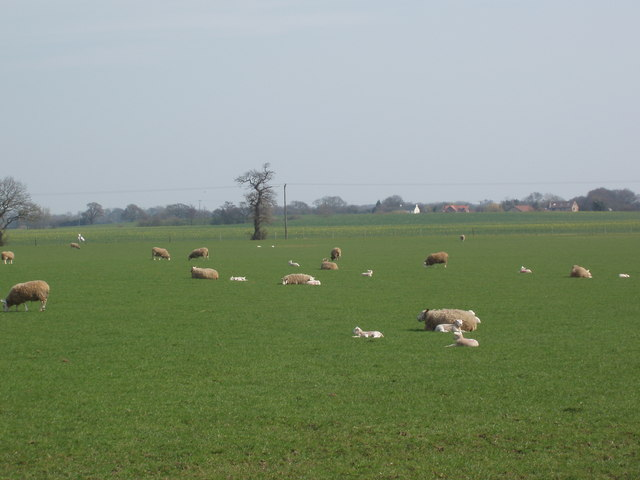 Sheep and Lambs, Woolas Grange Farm