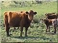 NM7309 : Luing cattle by Eileen Henderson