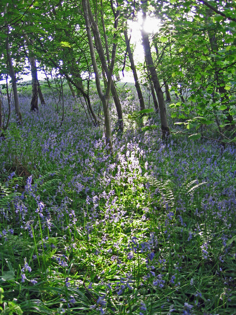 Bluebells in Dufton Ghyll Wood