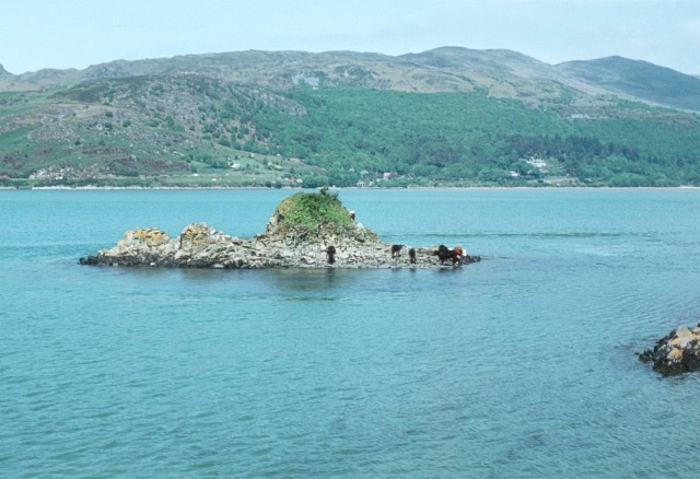 Cattle on Salt Rock, Mawddach estuary