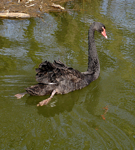Black Swan on the River Churnet