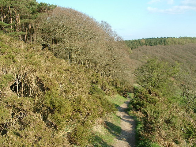 Offa's Dyke path through gorse, Panpunton Hill, Knighton