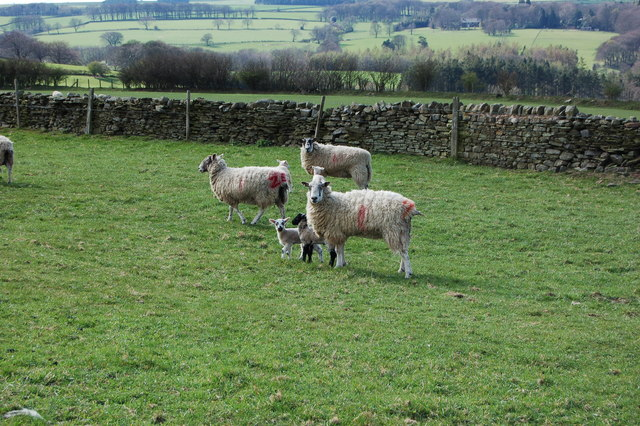 Lambs near Rare Dean with Pan Burn valley behind them