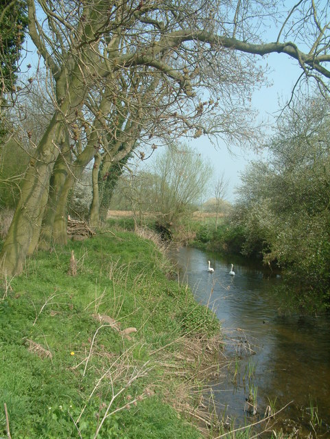 Swans on the River Mease