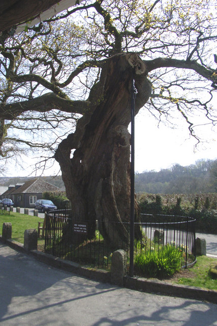 The Meavy Oak