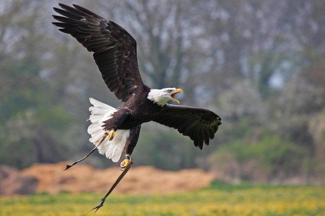 Hawk Conservancy, Andover call in male Bald Eagle during display.