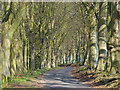 SU4553 : Avenue of beeches, Dunley by Andrew Smith