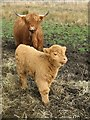 NM6124 : Highland cow and calf. by Richard Webb