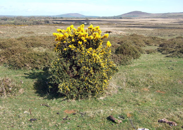 Gorse topiary and distant peaks