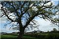 SJ4251 : Solitary Oak by Geoff Evans