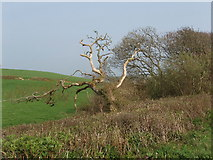 SS2201 : Dead tree in hedge by David Hawgood