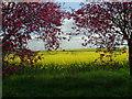 TL1460 : Rape and blossom by Les Harvey