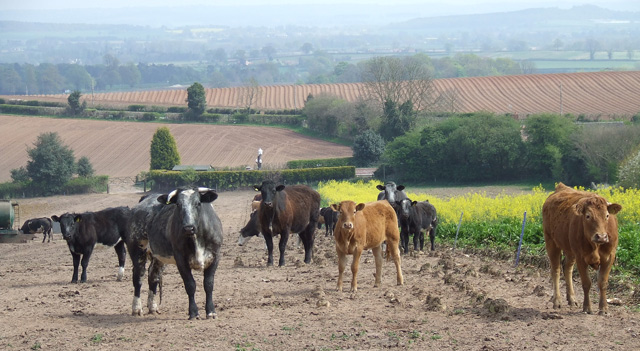Cows And Crops http://www.geograph.org.uk/photo/409571