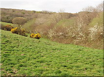 SS2213 : Pasture with gorse and blackthorn near Woodford by David Hawgood