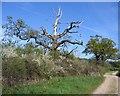 SJ4355 : Dead Tree on the Bridleway to Barton by John S Turner