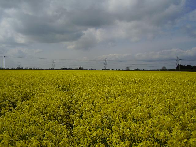 A field of Oil Seed Rape