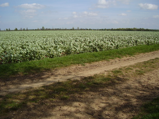 A field of beans from the bridleway