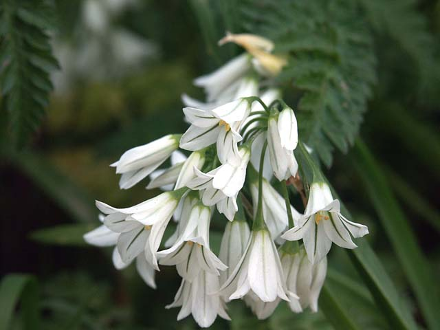 Three Cornered Garlic  (Allium triquetrum)