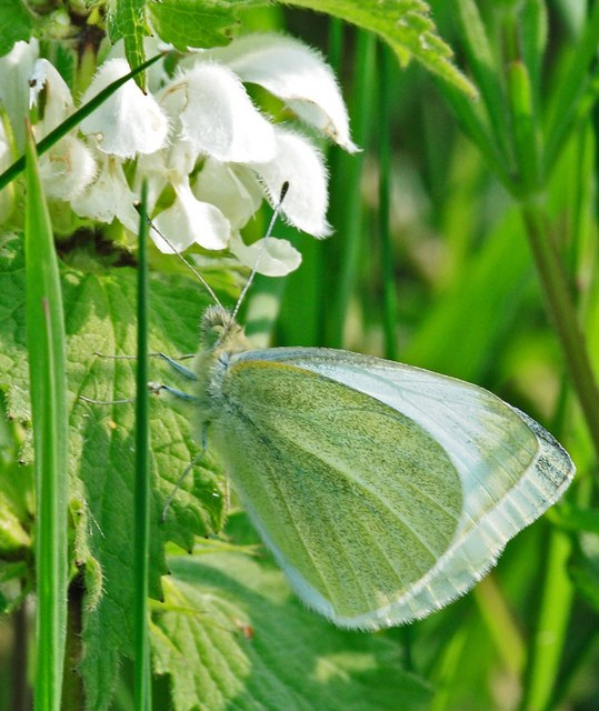 Small white (Pieris rapae) on nettle
