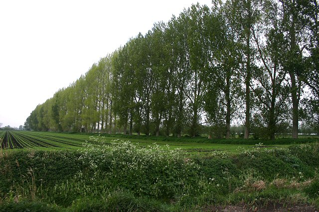 Windbreak trees at Methwold Common
