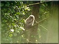 SZ2699 : Juvenile Tawny Owl (Strix aluco) by Hugh Venables