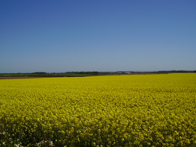 Oil Seed Rape on the Heath