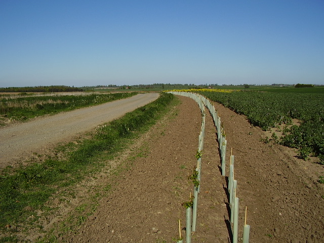 A new hedge alongside the road to Rowston Field Farm
