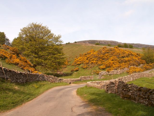 Gorse in bloom north of Askrigg