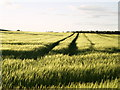 TA1735 : Field of Barley by Andy Beecroft