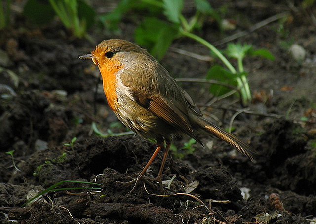 Hungry Robin in the Strawberry Patch