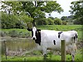 SJ7149 : Cow by pond by Ian Bottomley