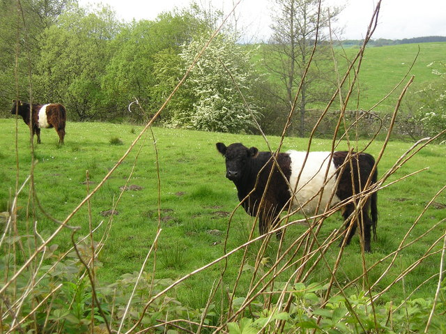 Belted Galloway Cattle http://www.geograph.org.uk/photo/432951