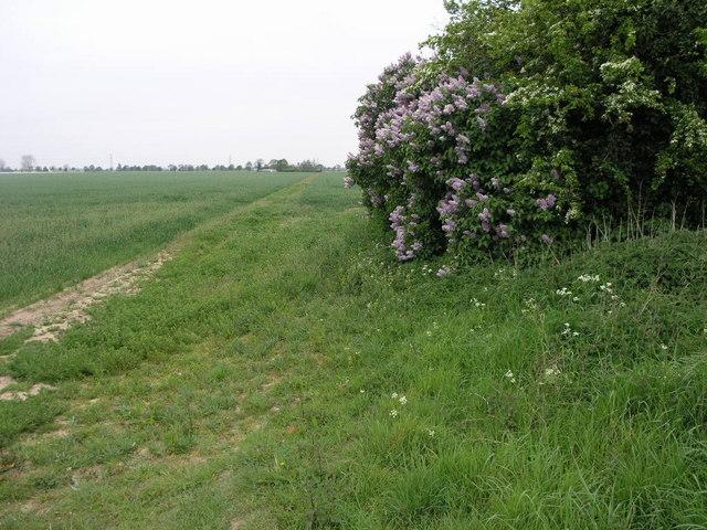 Lilac Footpath