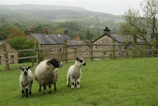 Ewe and lambs, Summerbridge