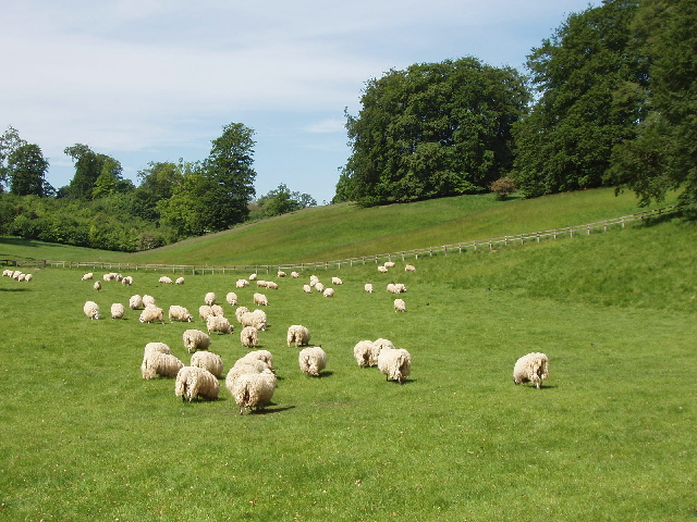 Sheep in Blenheim Great Park