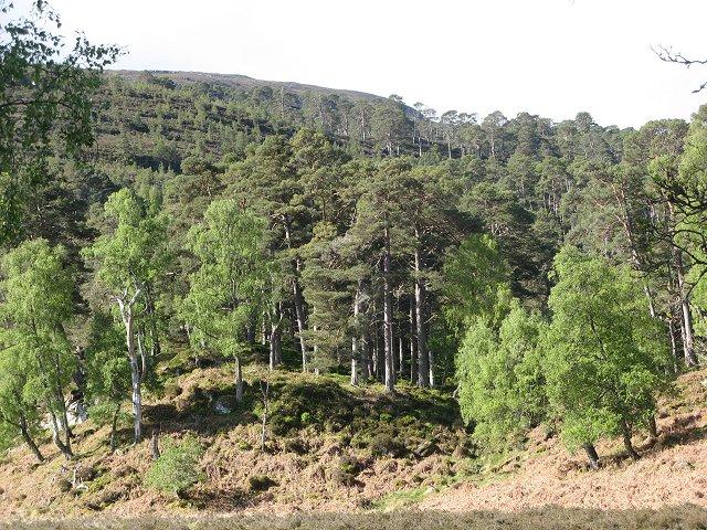 Pine woods, Glen Strathfarrar