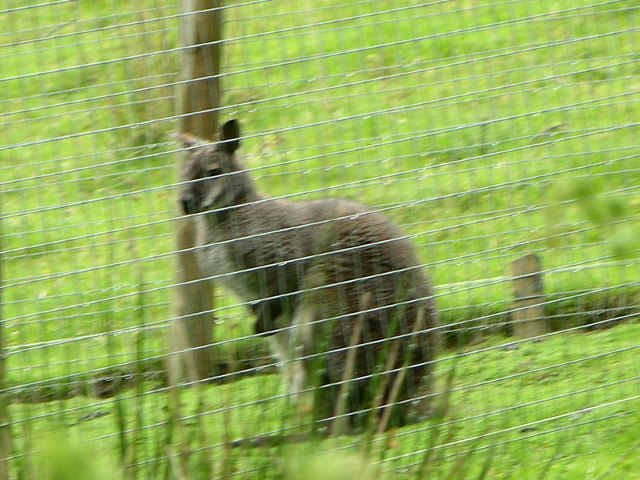 Wallaby in Welsh Valley!