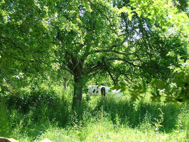 Cows in cider orchard, Ditcheat
