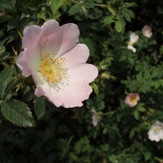 Dog Rose, close to Slapton Hill Farm