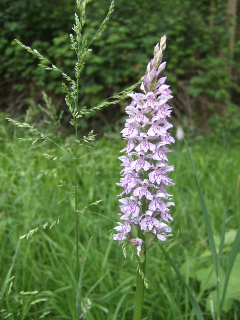 Common Spotted Orchid (Dactylorhiza fuchsii)