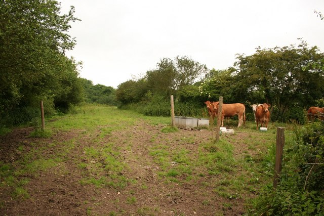 Castle Carlton cows