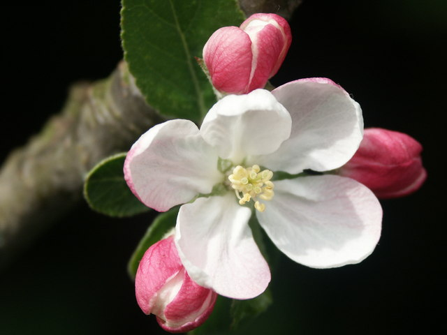 Apple Blossom near Alford Sewage Works