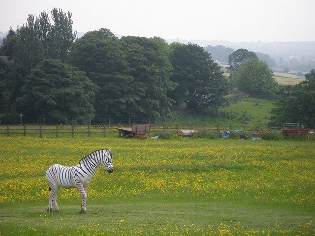 A Moorlands Zebra!